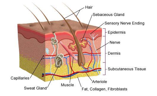 El cabello y su estructura – Cortes de pelo con estilo 2018